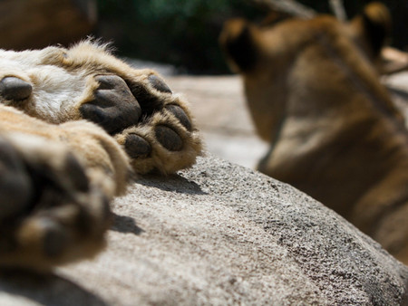 lion paw (1 of 1).jpg