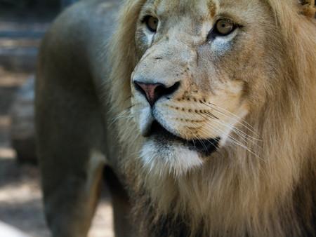 lionupclose1.jpg