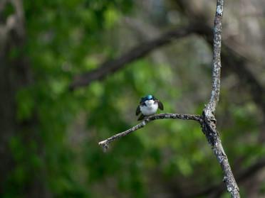 treeSwallowFluffedatMe.jpg