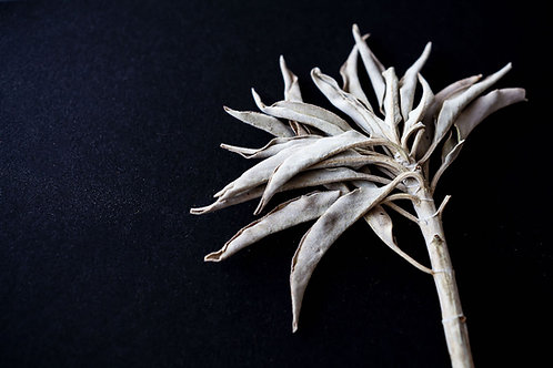 Natural Incense : White Sage