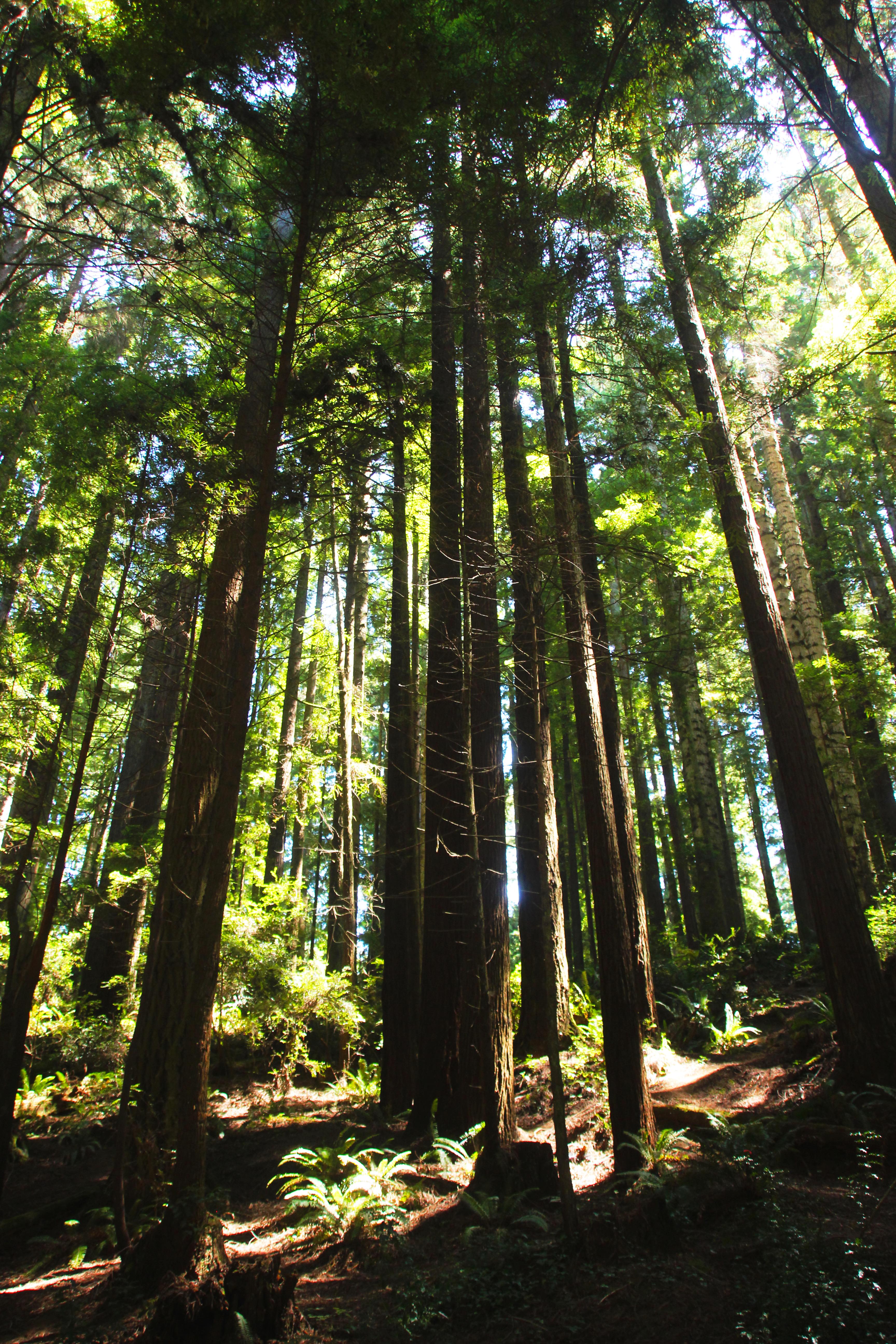redwood_trees