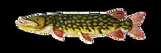 Щука трофейный подарок рыбаку. Рыба вырезанная из дерева. Ручная работа