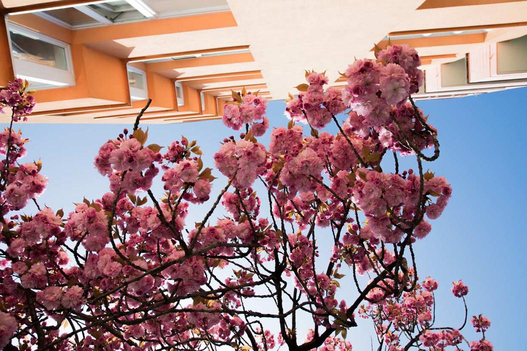 Cherry Blossom in Prenzlauer Berg