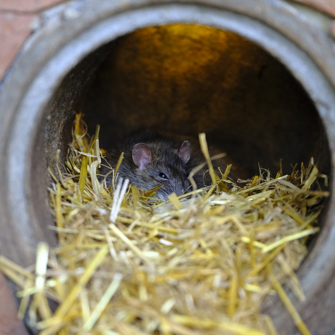 Rattenwohnung