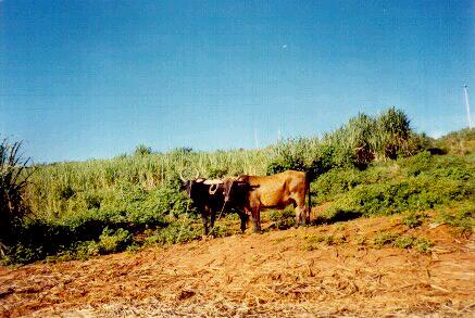 historia-cachaca-erva-doce-salinas-capit