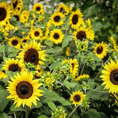 Gold Ring Sunflower