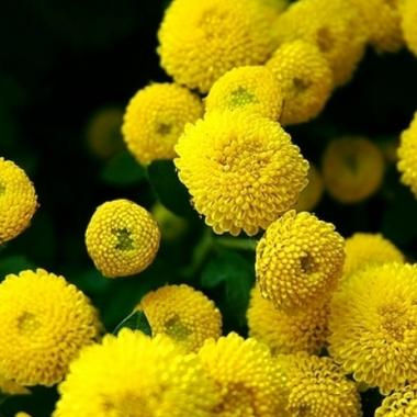 Golden Ball Chrysanthemum
