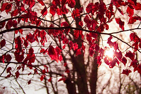 Canva - Red Leafed Tree.jpg