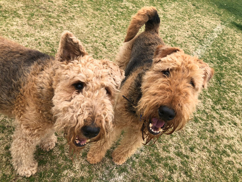 Maggie and Ted the Airedales have been walking with us for years!