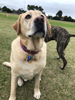 Harry the Labrador loves catching up with friends during his dog walking sessions!