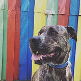 Jaxon - Heads & Tails Dog Walking Melbou