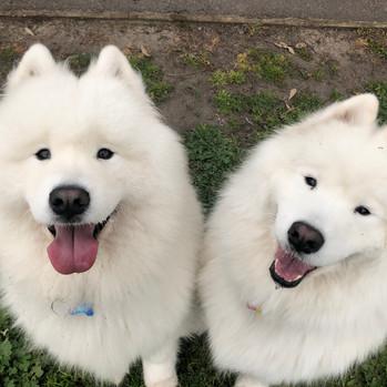 Koda & Skye the Samoyeds during their group dog walking session!