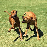 Iroh & Rugby - Heads & Tails Dog Walking