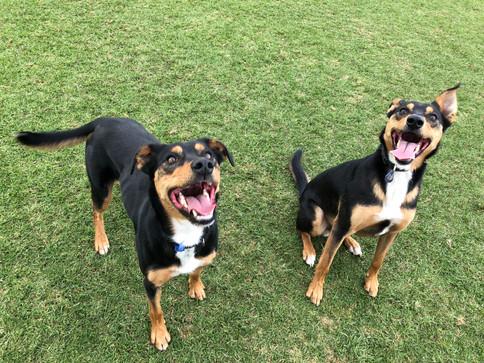 Frank and Patti the Kelpies having fun on their dog walking adventure!