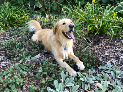 Oregon the Golden Retriever during his dog walking session!
