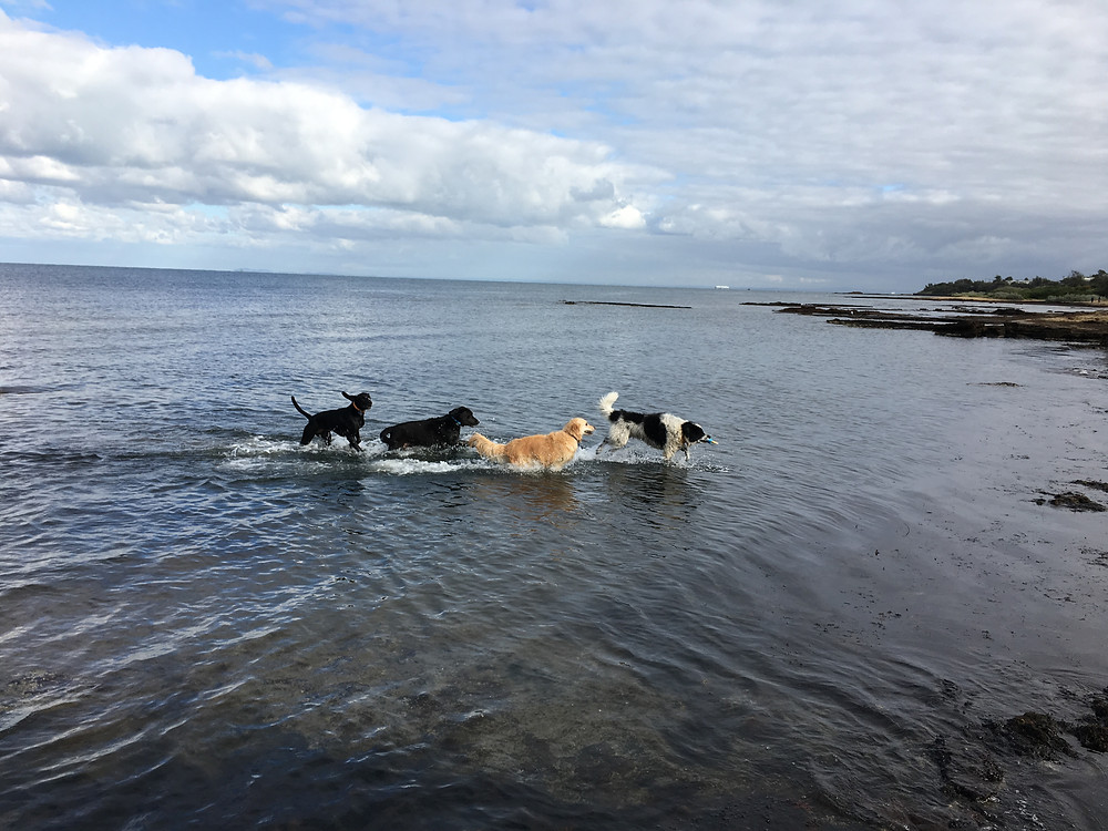 Dogs playing at Melbourne's Dog Beaches