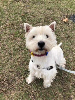 Snowy the Westie in her group dog walking session!