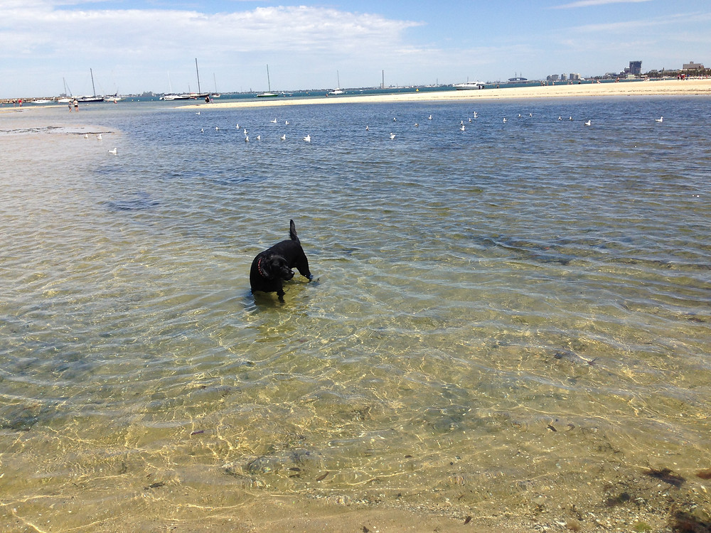 Swimming at Melbourne Dog Beach