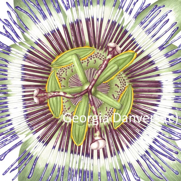 Passiflora Caerulea (Passion Flower)