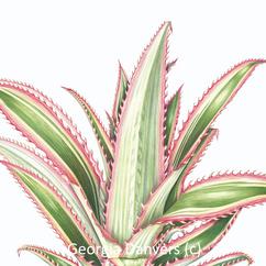 Ornamental Pineapple leaves