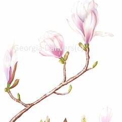 Magnolia x soulangeane