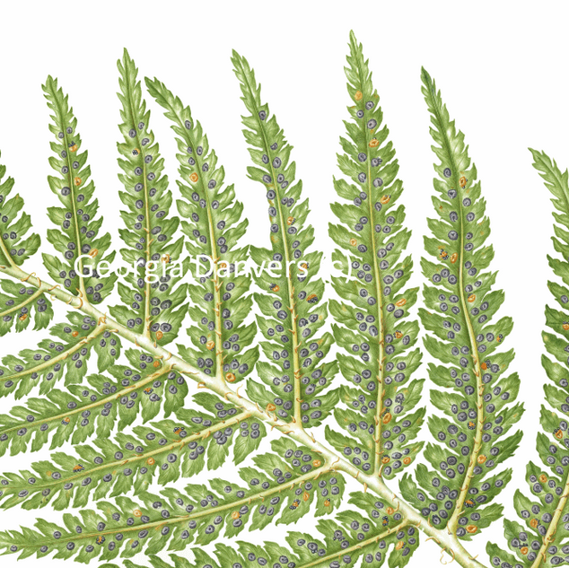 Fern with spores.