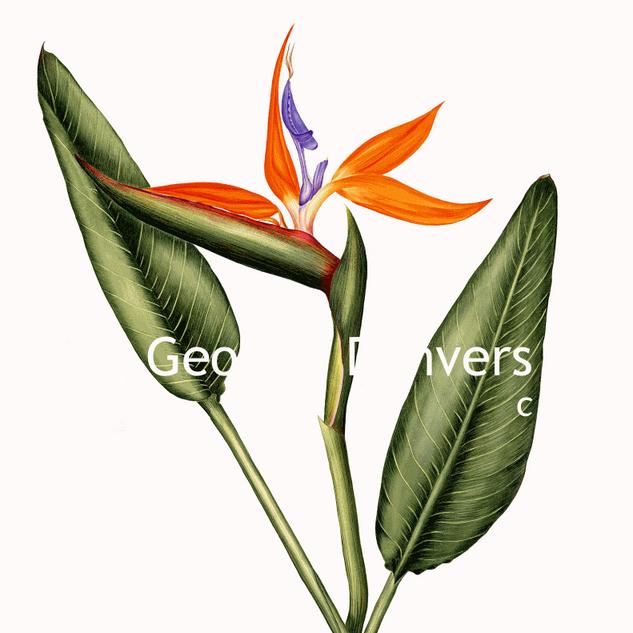 Strelizia reginae - Bird of Paradise