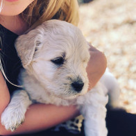 F1 English Goldendoodle puppy
