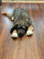 sable bernedoodle puppy
