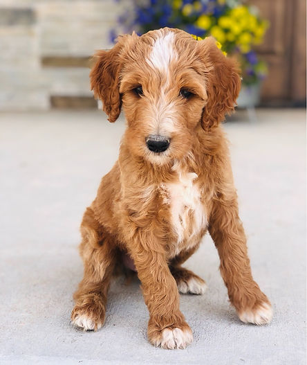 Red and White F1B Goldendoodle puppy Colorado