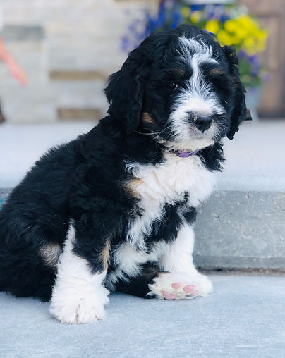tri colored bernedoode puppy