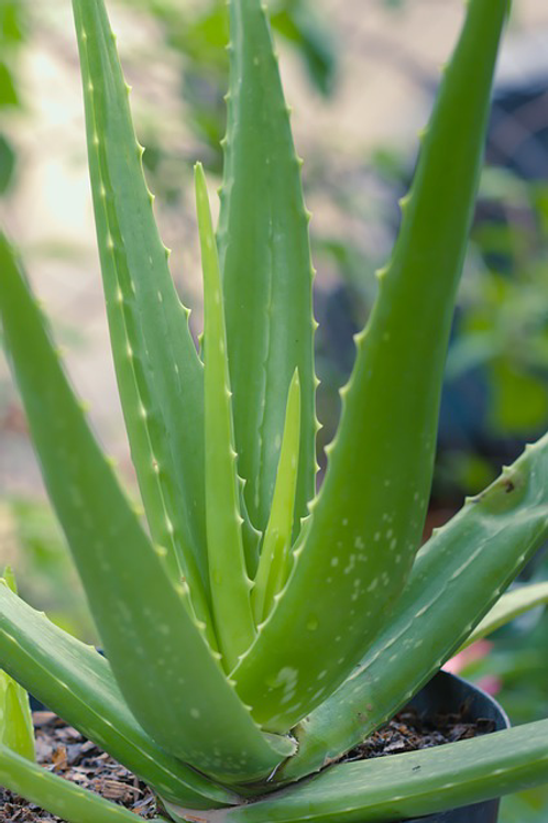 Organic Cucumber & Aloe Hydrating Spray