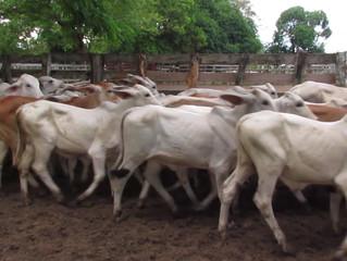Ganaderos no están de acuerdo con medida que prohíbe movilización de ganado