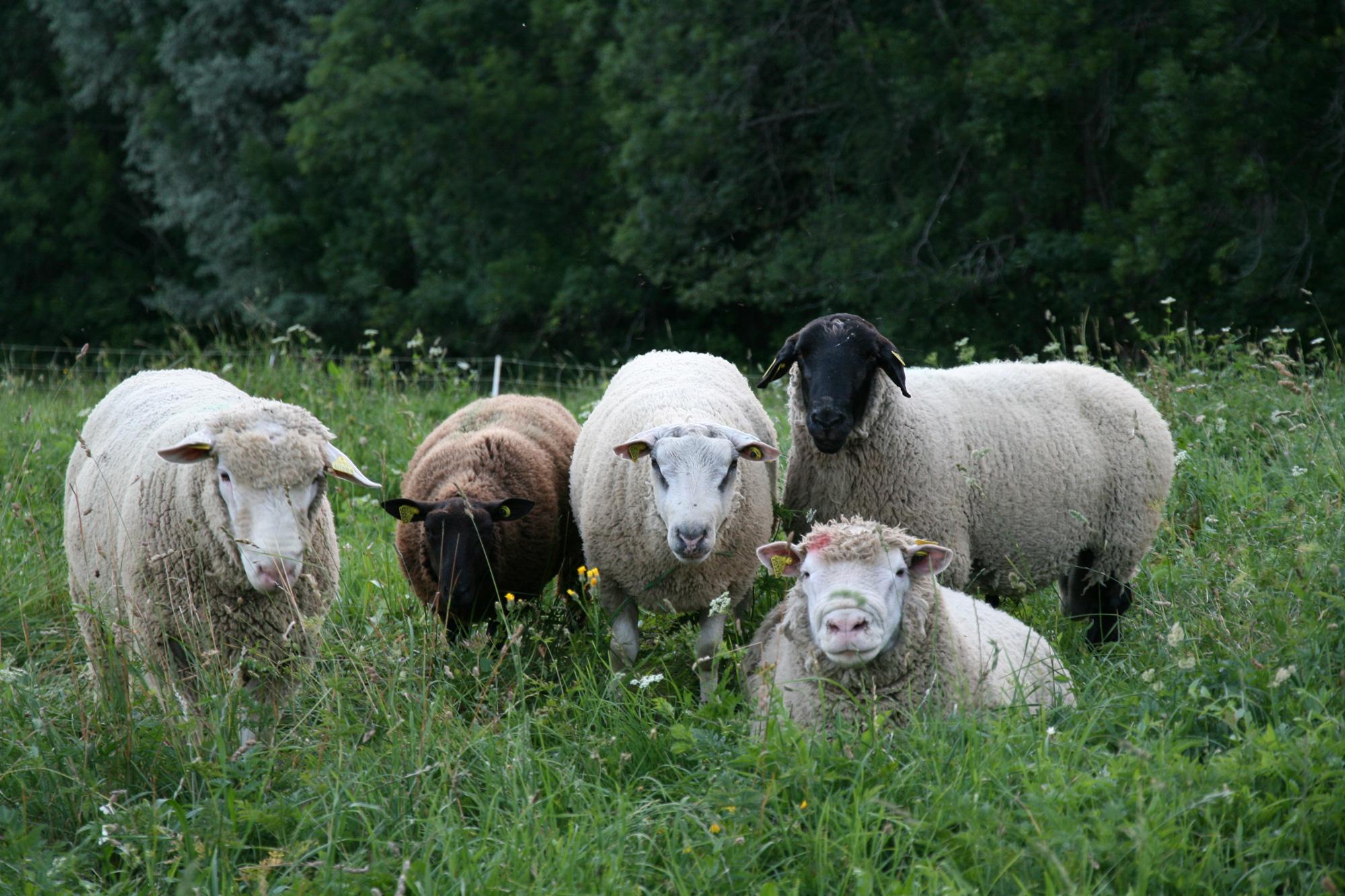 Les Marm'hôtes - les moutons