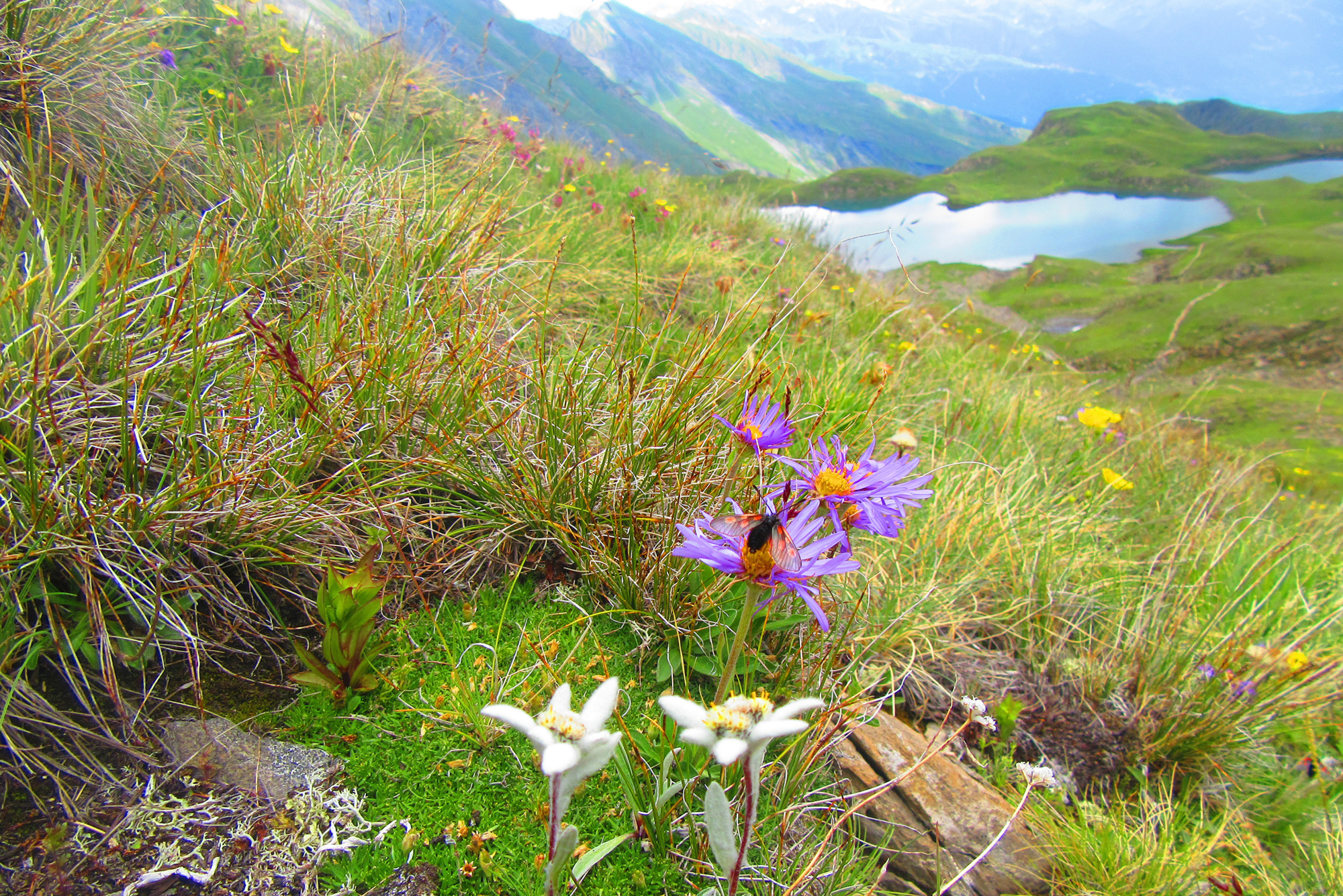Edelweiss et asters