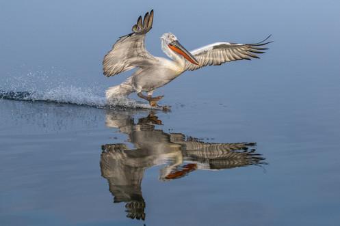 Krushuvad pelikan / Dalmatian Pelican
