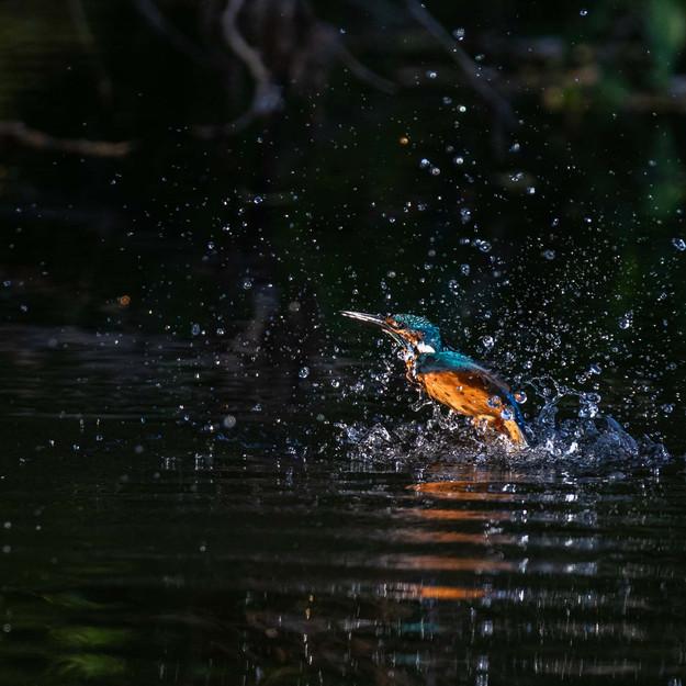 Kungsfiskare / Common Kingfisher, Kävlinge 2020