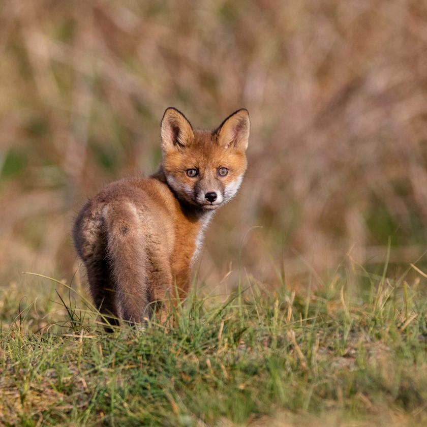 Räv / Red fox, Sjöstorps ängar 2020