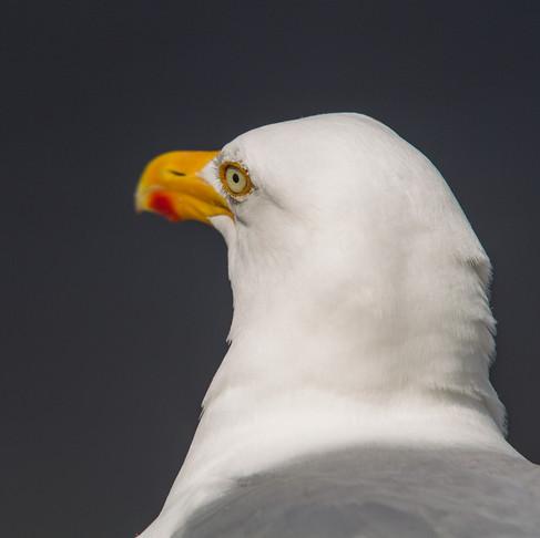 Gråtrut / Herring Gull, Helgoland Germany 2012