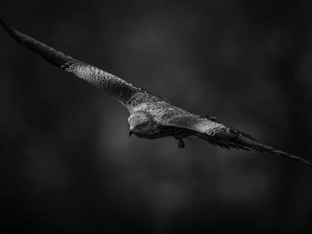 Rovfåglar i svartvitt