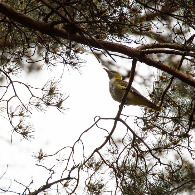 Sommargylling / Eurasian Golden Oriole, Vombs fure 2020