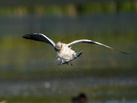 Fåglar och djur i juni och juli