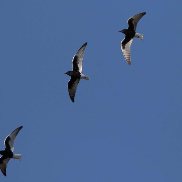 Vitvingad tärna / White-winged Tern, Vombsjön 2020