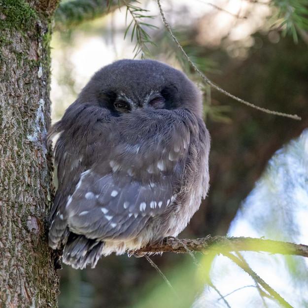 Pärluggla / Tengmalm's Owl, Traneröds mosse 2020