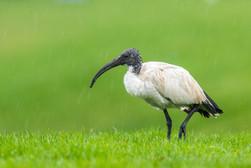 Helig ibis