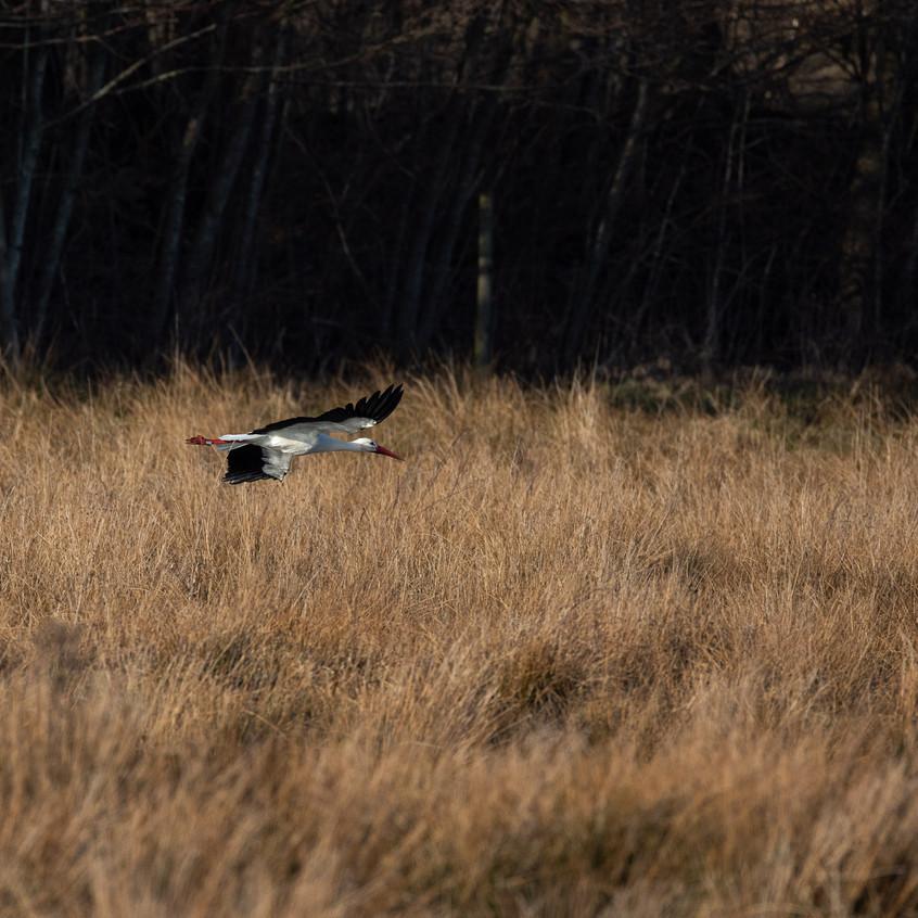 Vit stork