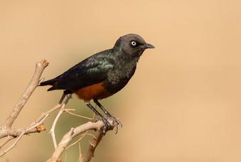 Chestnut-bellied Starling