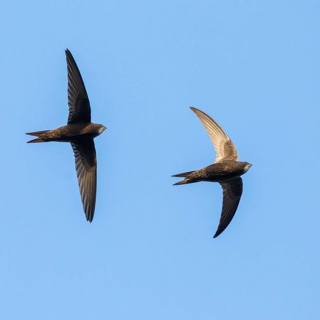 Tornseglare / Common Swift, Stångby 2020
