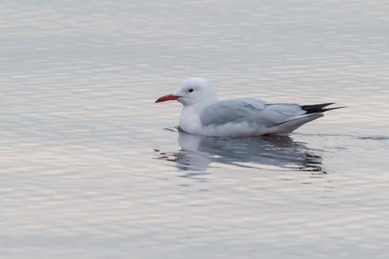 Långnäbbad mås / Slender-billed Gull