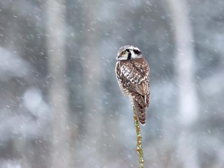 Hökuggla i snöfall